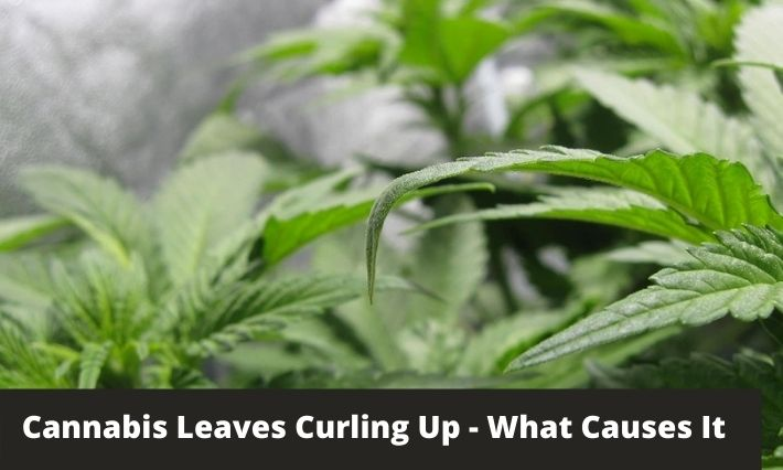 cannabis leaves curling up