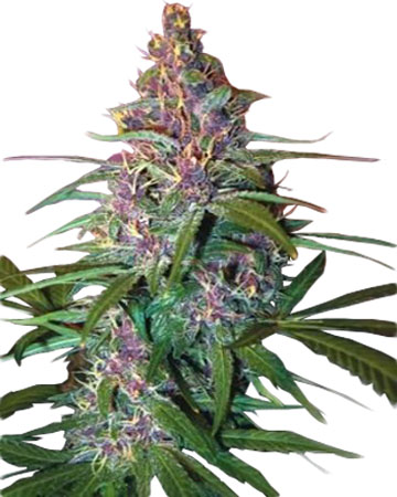 Critical Purple Auto Flowering Feminized Cannabis Seeds