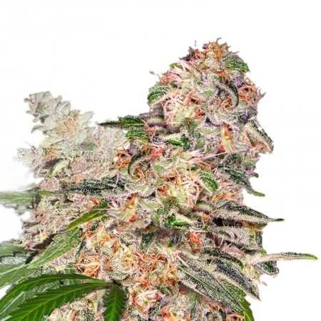 blue dream xtrm feminized cannabis seeds 2