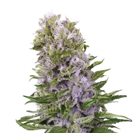 blueberry 420 autoflowering cannabis seeds copia