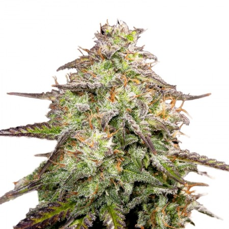 moab mother of all buds feminized marijuana seeds 1