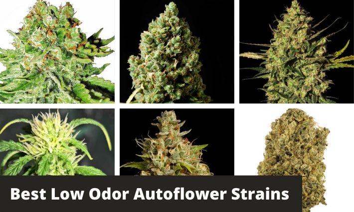 best low odor autoflower strains