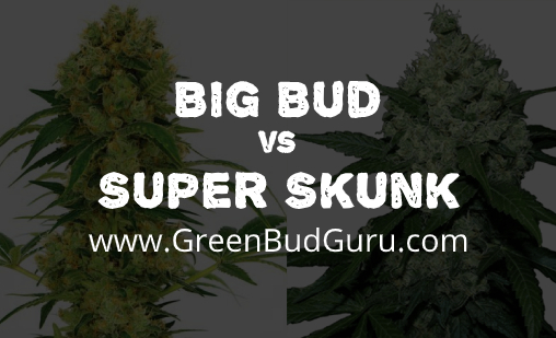 big bud vs super skunk