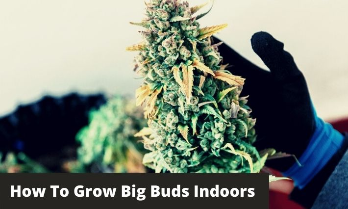 How to grow big buds indoors
