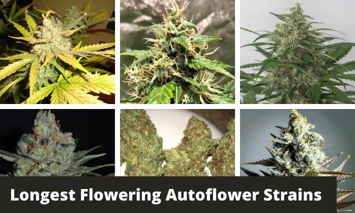 longest flowering autoflower strains