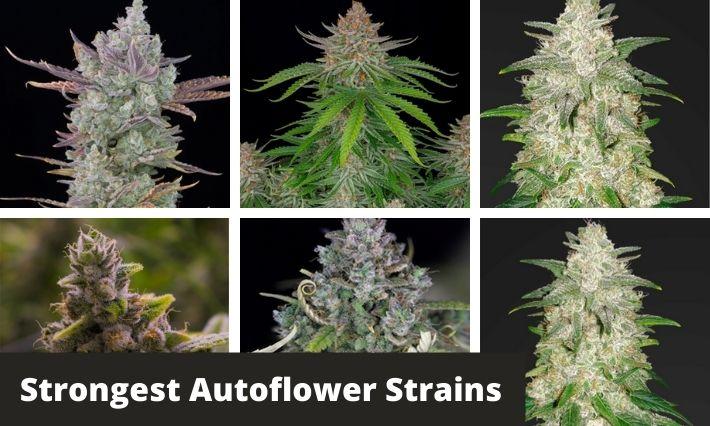 strongest autoflower strains