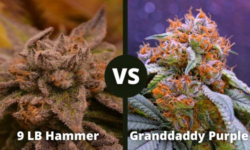 9lb hammer vs grandaddy purple