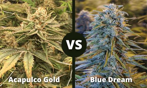 acapulco gold vs blue dream