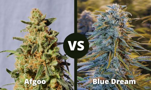 afgoo vs blue dream
