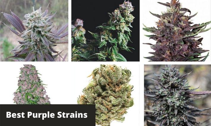 best purple strains