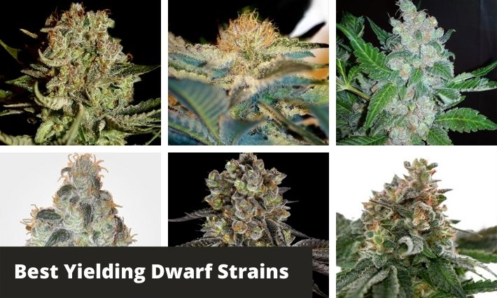 best yielding dwarf strains