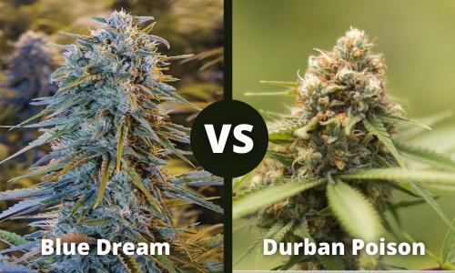 blue dream vs durban poison