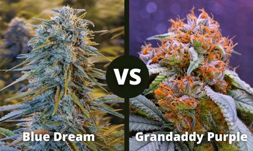 Blue Dream vs Granddaddy Purple