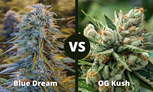 Blue Dream vs OG Kush