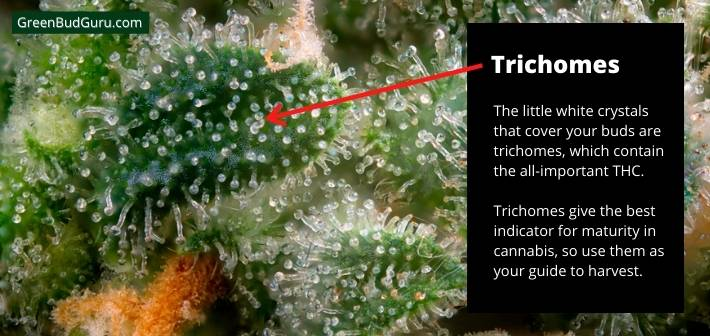 Cloudy trichomes show that your plant is mature and ready to harvest