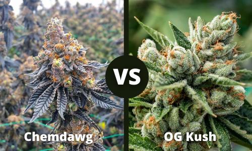 chemdawg vs og kush