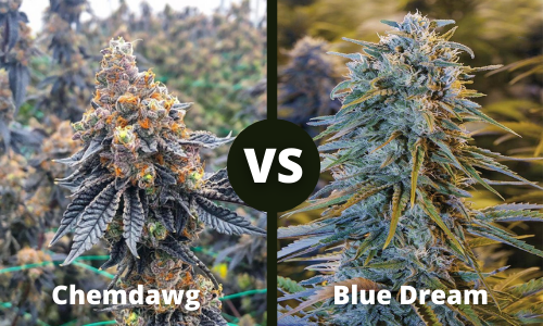 chemdawg vs blue dream