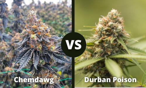 chemdawg vs durban poison