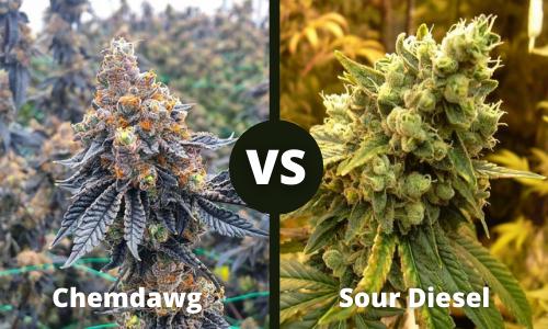 chemdawg vs sour diesel