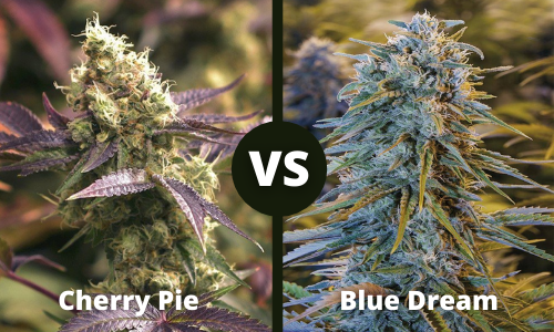 cherry pie vs blue dream