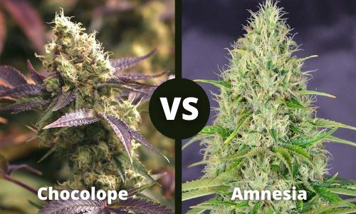 chocolope vs amnesia
