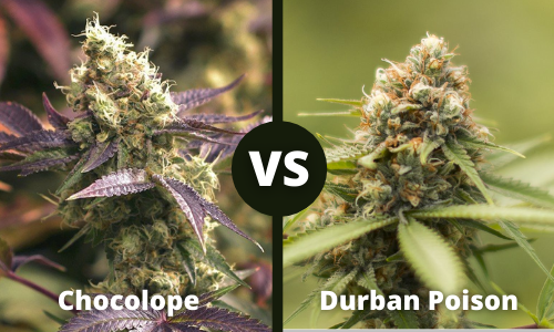 chocolope vs durban poison