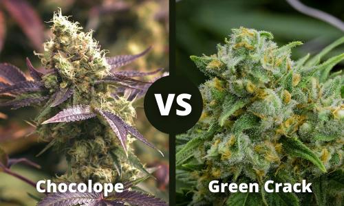 chocolope vs green crack