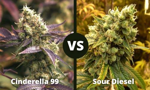 cinderella 99 vs sour diesel