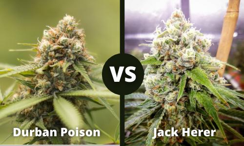 durban poison vs jack herer