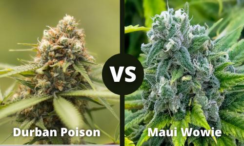 Durban Poison vs Maui Wowie