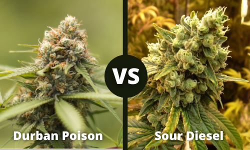 durban poison vs sour diesel