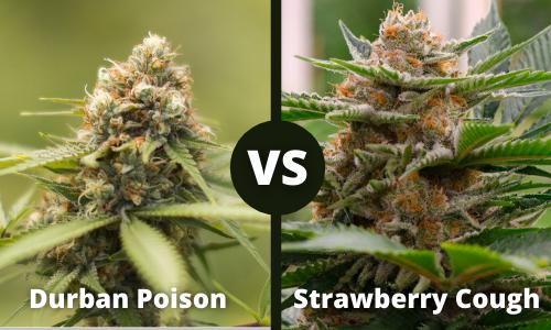 Durban Posion vs Strawberry Cough
