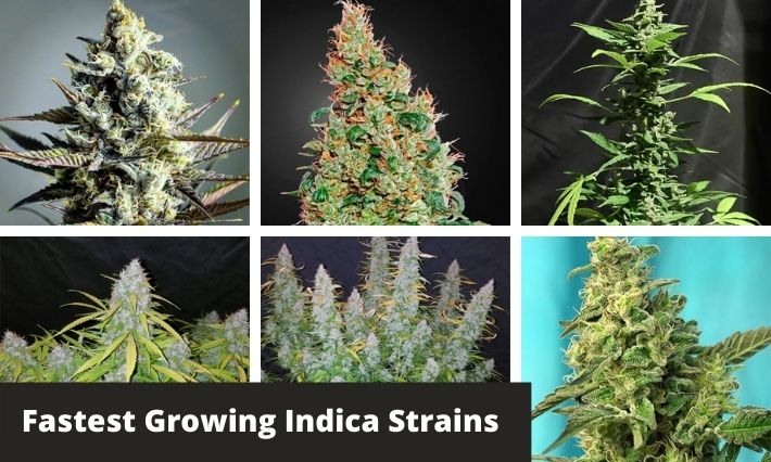 fastest growing indica strains