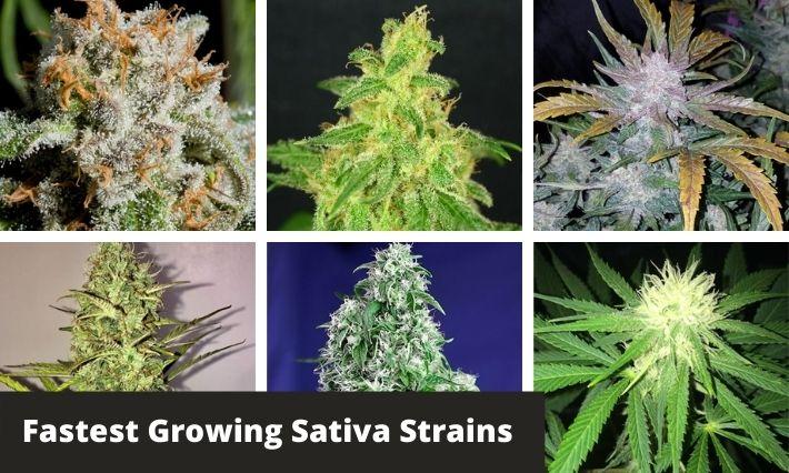 fastest growing sativa strains