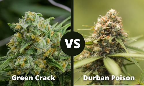 green crack vs durban poison