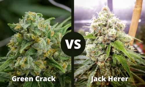 green crack vs jack herer
