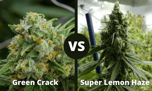 green crack vs super lemon haze