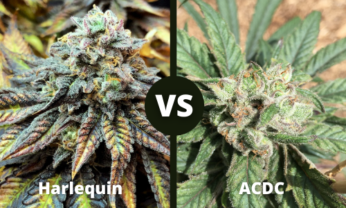 harlequin vs acdc