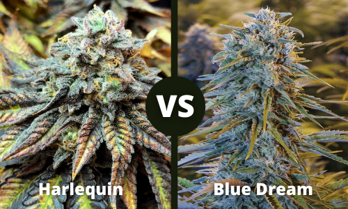 harlequin vs blue dream
