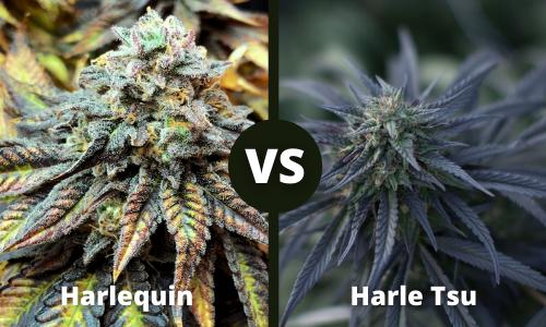 harlequin vs harle tsu