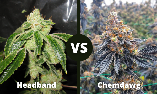 headband vs chemdawg