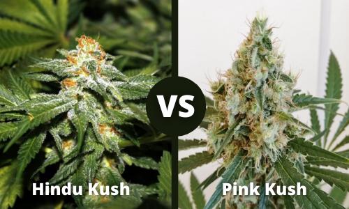 Hindu Kush vs Pink Kush