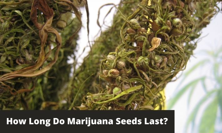 how long do marijuana seeds last
