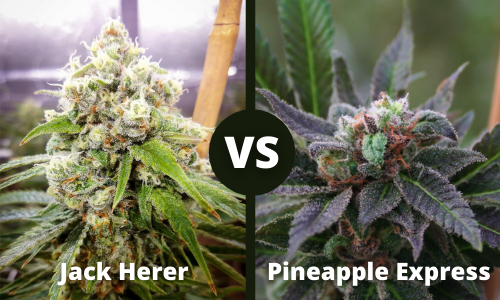 jack herer vs pineapple express