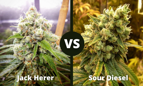 jack herer vs sour diesel