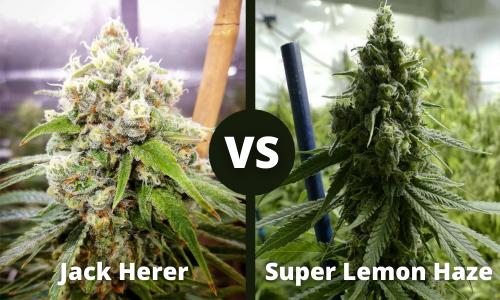 jack herer vs super lemon haze
