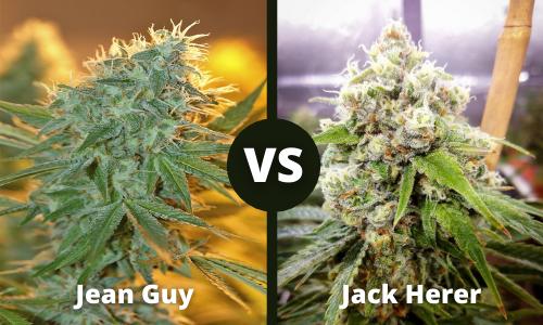 jean guy vs jack herer