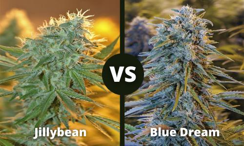 jillybean vs blue dream