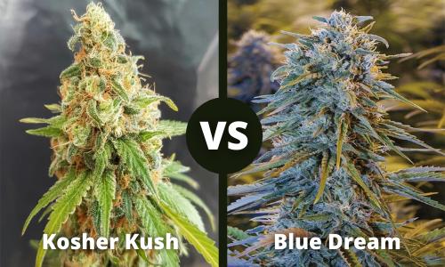 kosher kush vs blue dream