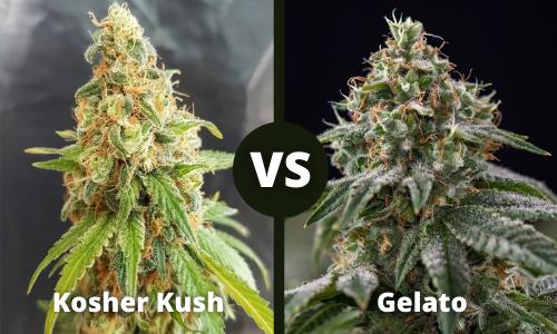 Kosher Kush vs Gelato